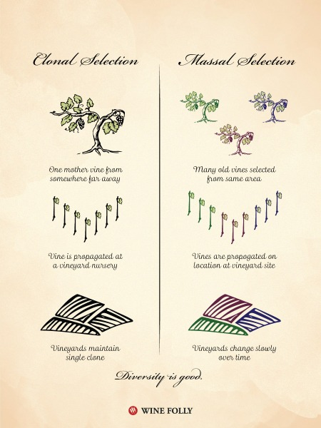 wine folly massal-selection-clonal-selection-vines-